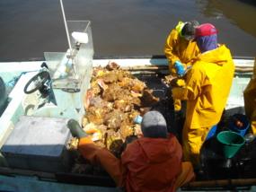 Estimation d'un débarquement de lambis au Vauclin en Martinique