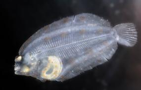 Larve de poisson plat collecté lors d'une camapgne halieutique