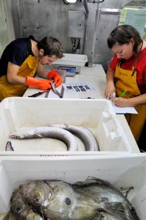 Détermination de la maturité sexuelle des poissons lors d'une campagne halieutique